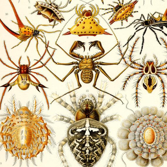Drawn spider scientific illustration Haeckel Spider Poster Spider Ernst
