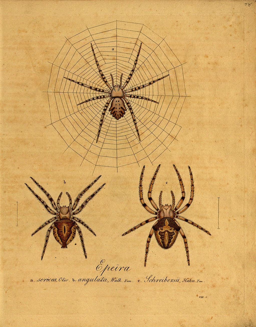 Drawn spider scientific illustration Spider spider Tattoo Illustrations Epeira