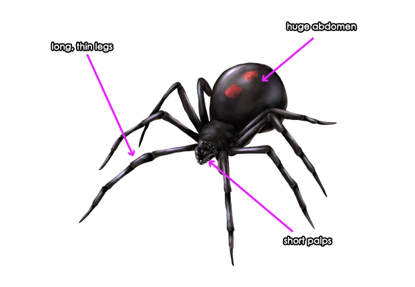 Drawn spider small black How and to Animals: Species