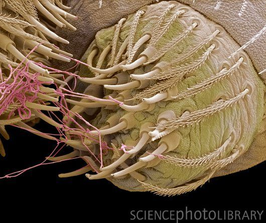 Drawn spider spinneret Of electron Coloured (SEM) on