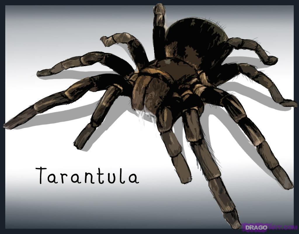 Drawn spider tarantula Tarantula draw spider how Draw