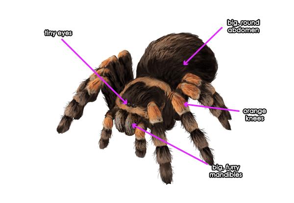 Drawn spider tarantula Spiders draw tutorial How Draw