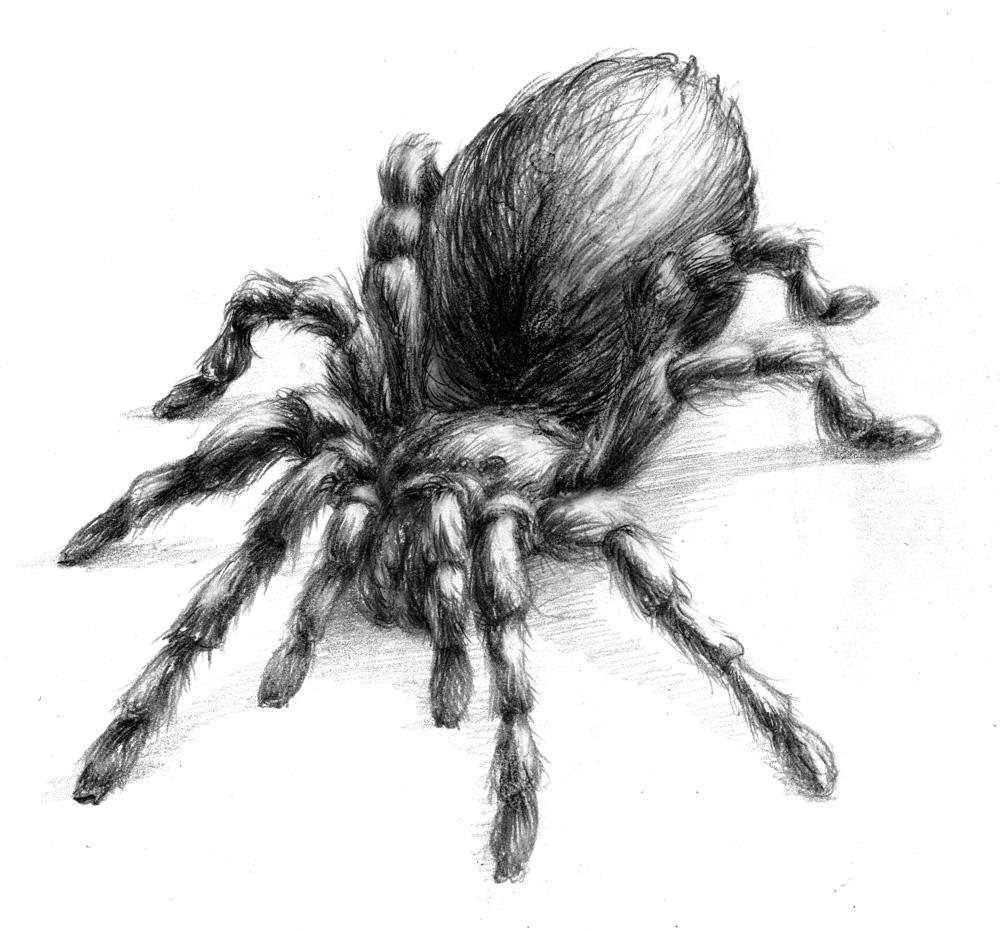 Drawn spider tarantula Magellin drawing Tarantula Tarantula Blog: