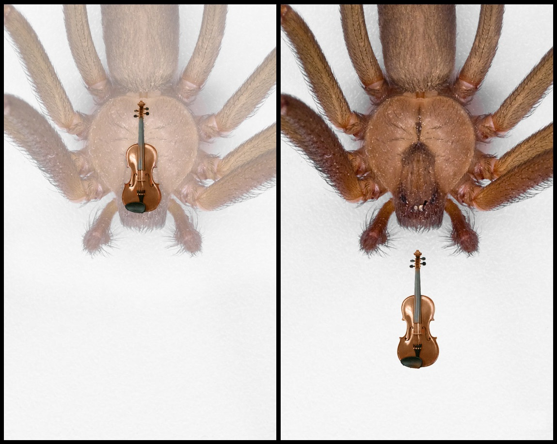 Drawn spider violinist Fiddle Of or fiddle recluse