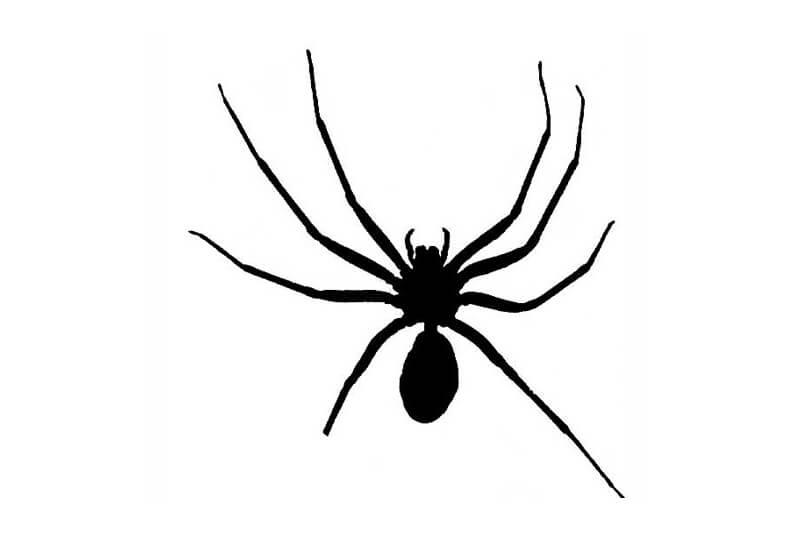 Drawn spider violinist Brown Spider = a Myth: