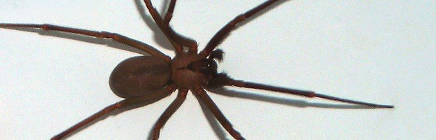 Drawn spider violinist Brown Recluse well is another