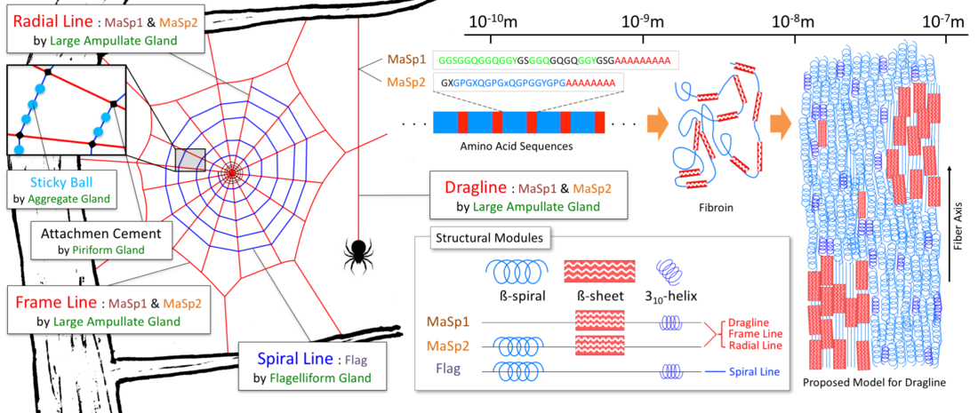 Drawn spider web acid And is On shown left