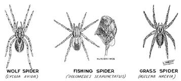 Drawn spider wolf spider No  fishing School Spiders