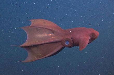 Drawn squid vampire squid Real Vampire Squid Vampire Squid