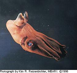 Drawn squid vampire squid Vampire Vampyroteuthis MarineBio Squid Vampire