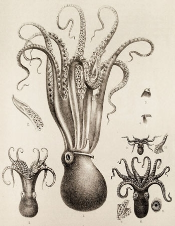 Drawn squid vintage (by squid Vintage Collective)