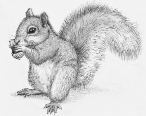 Drawn rodent cute Drawing Art Drawing Realistic Squirrel