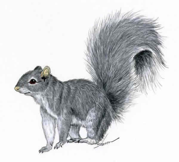 Drawn squirrel Amazing Squirrel Drawing Squirrel Realistic