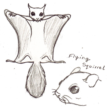 Drawn squirrel flying squirrel Flying squirrel Pinterest Flying Drawing