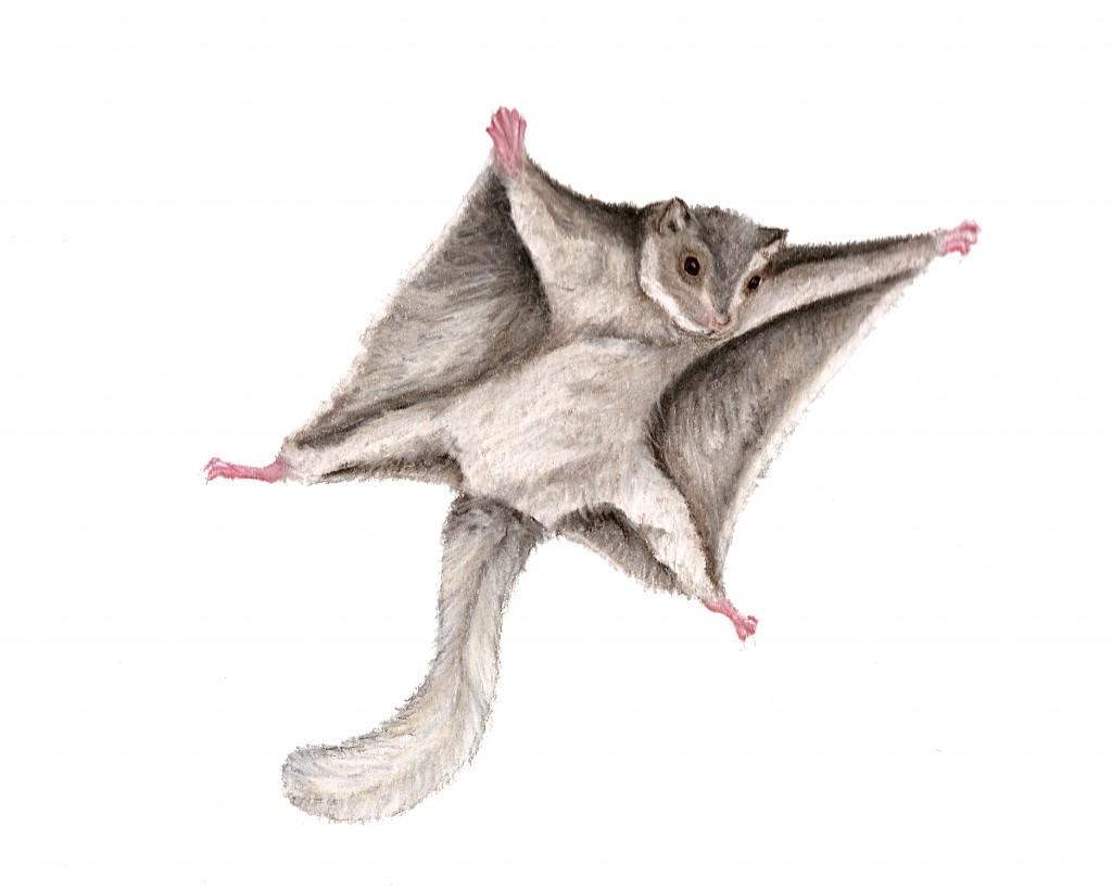 Drawn squirrel flying squirrel Squirrel Drawing Squirrel Cute Drawing