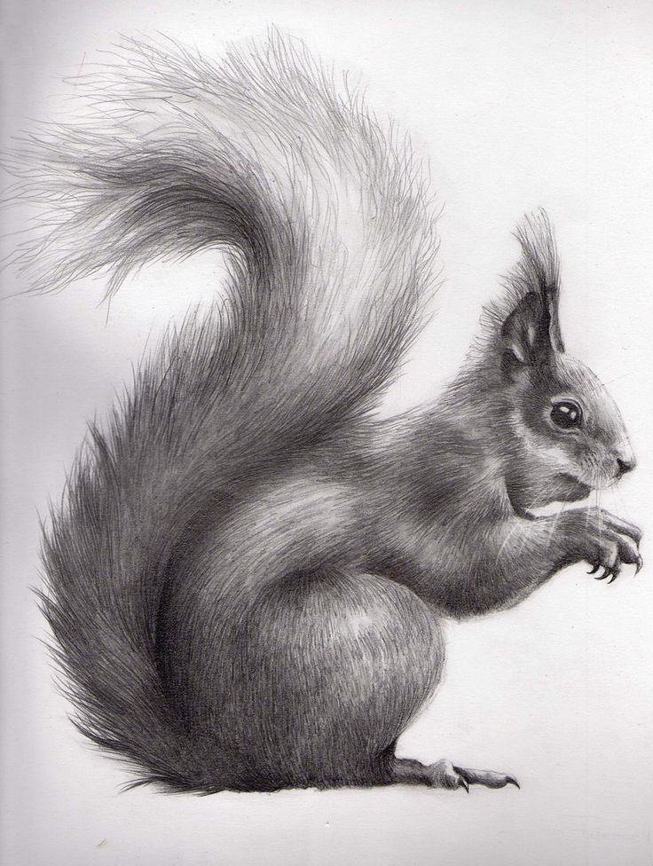 Drawn squirrel furry animal & this & 178 images