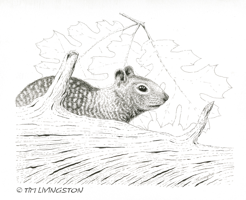 Drawn squirrel ground squirrel  ink Forestry Of pen