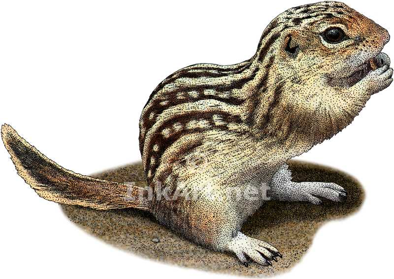 Drawn squirrel ground squirrel Ground Ground Squirrel Lined Thirteen