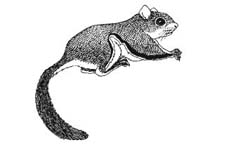 Drawn squirrel realistic Flying How : How &