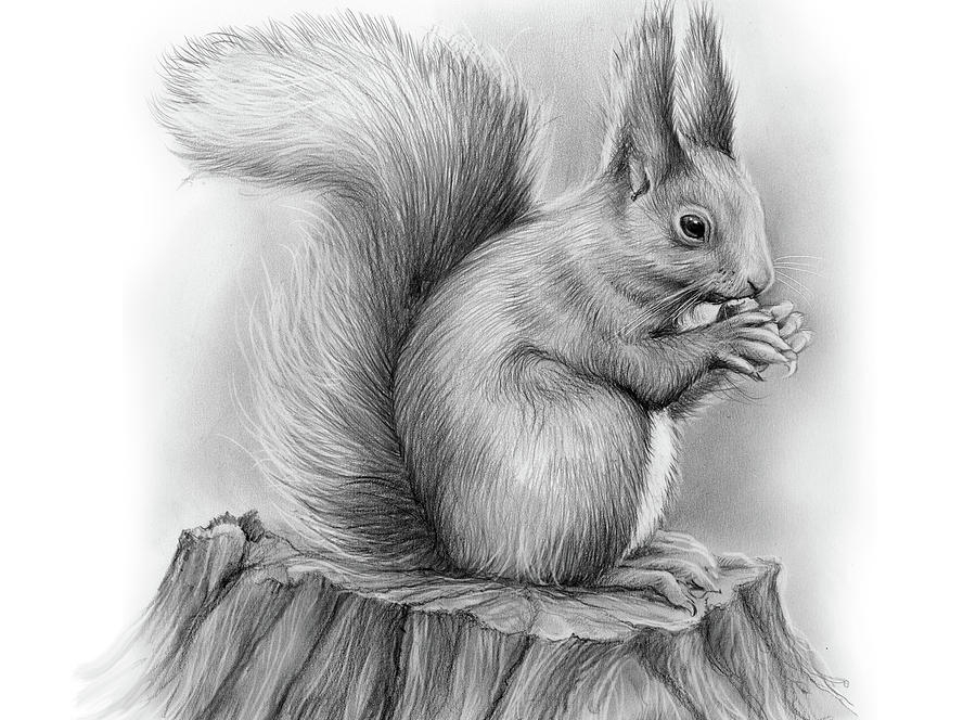 Drawn squirrel realistic Squirrel Pencil of Animal a