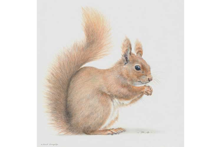 Drawn squirrel red squirrel Drawing European photo#3 red Drawing
