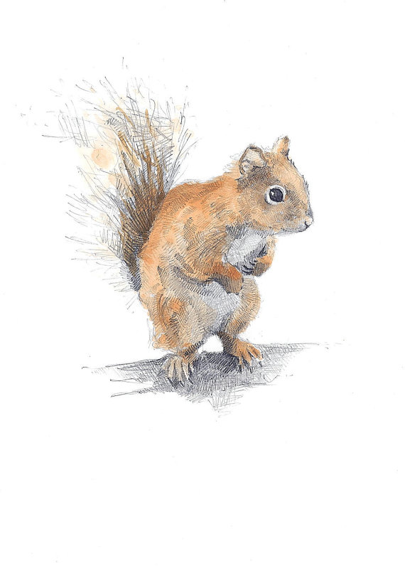 Drawn squirrel red squirrel Drawing European photo#6 red Drawing