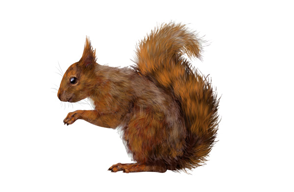 Drawn squirrel red squirrel Anatomy draw Rodents Small to