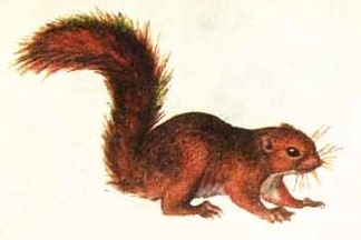 Drawn squirrel red squirrel World's Bierly The Bush East