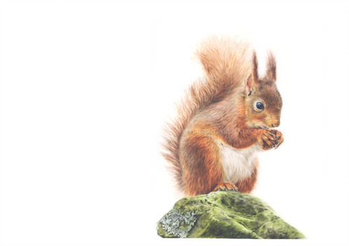 Drawn squirrel wildlife Drawing red British are squirrel