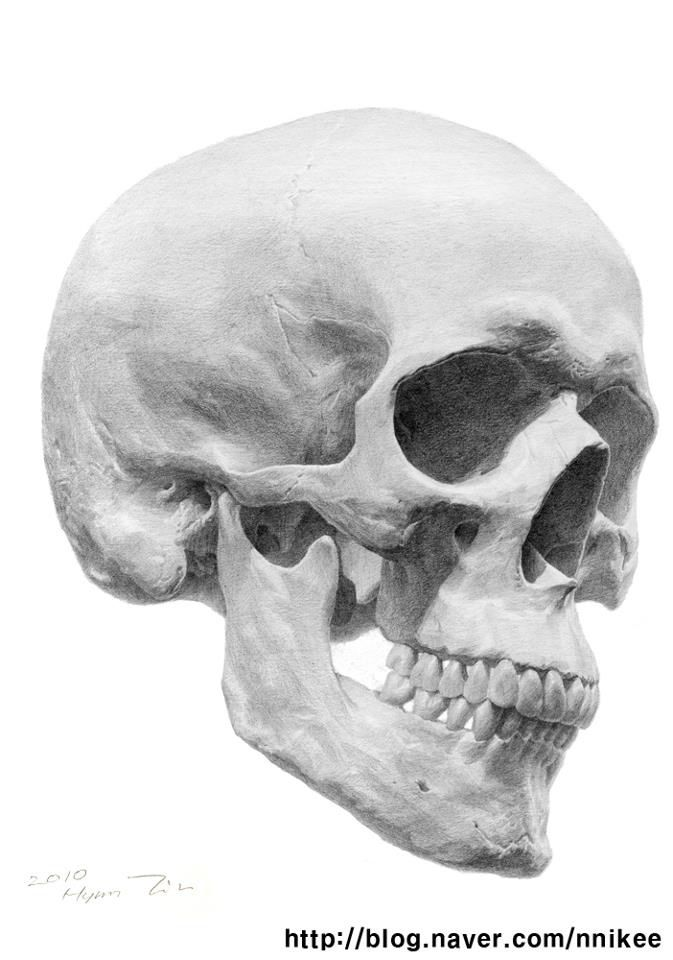 Drawn ssckull anatomy Model Amazing at as skull