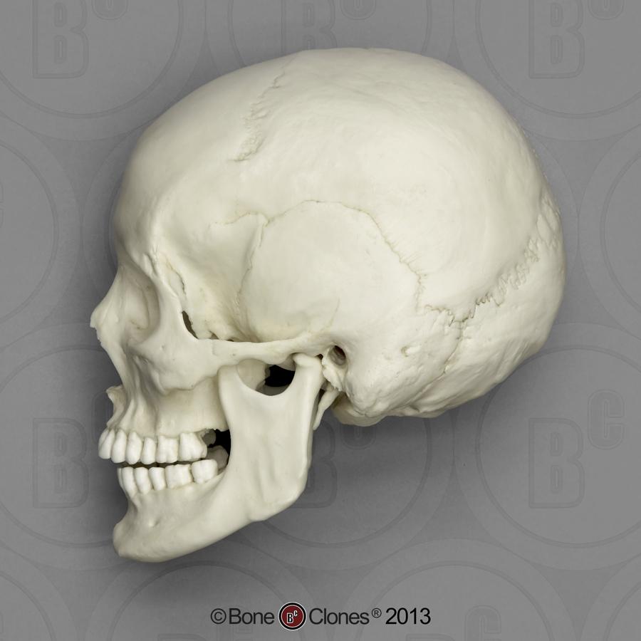 Drawn skull female skull References Side Female References Anatomy