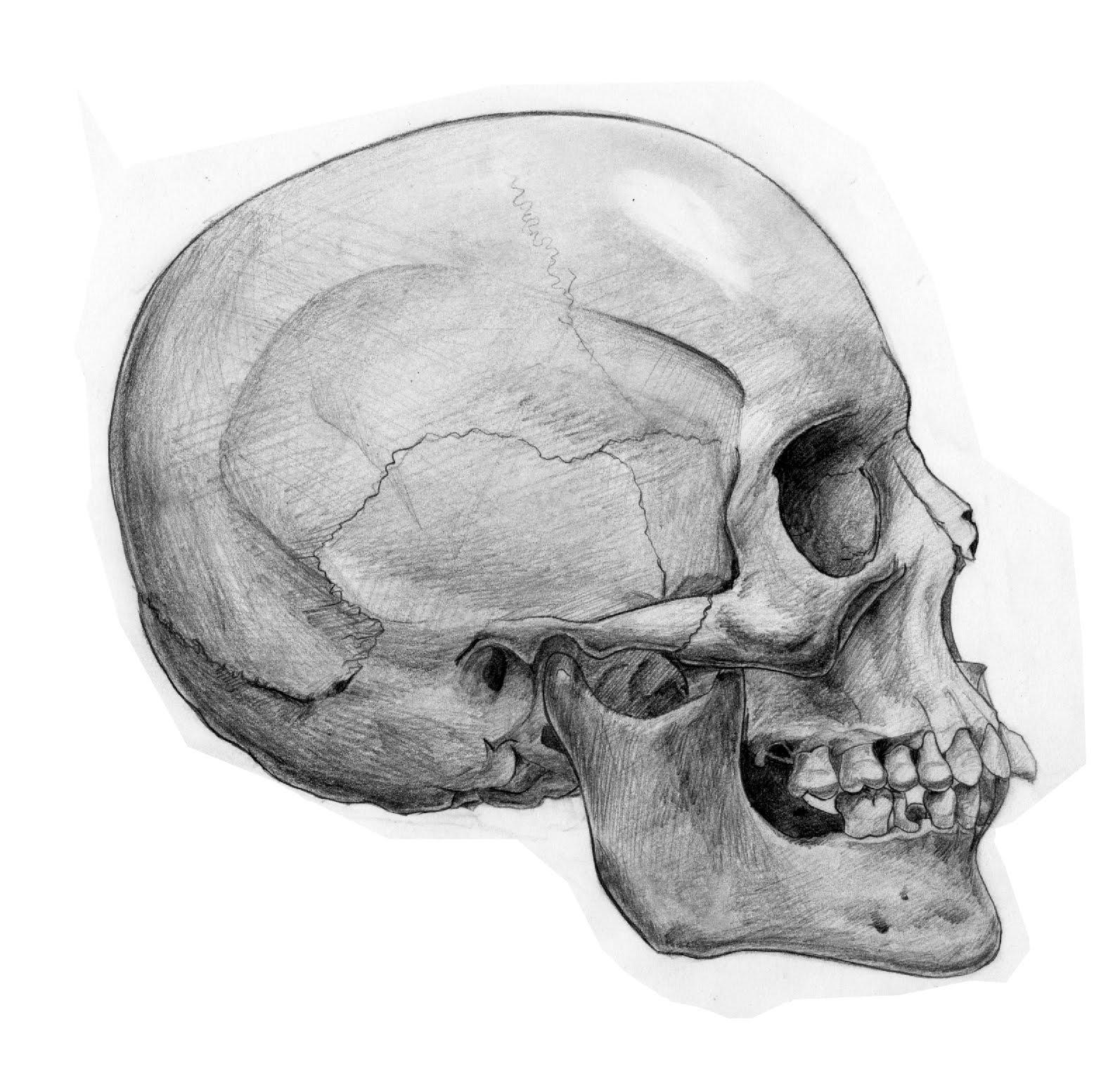 Drawn skull profile Human Skull profile skull drawing