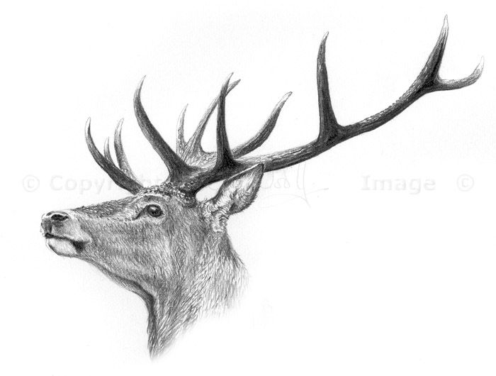 Drawn stag Sketches stag  stag Google