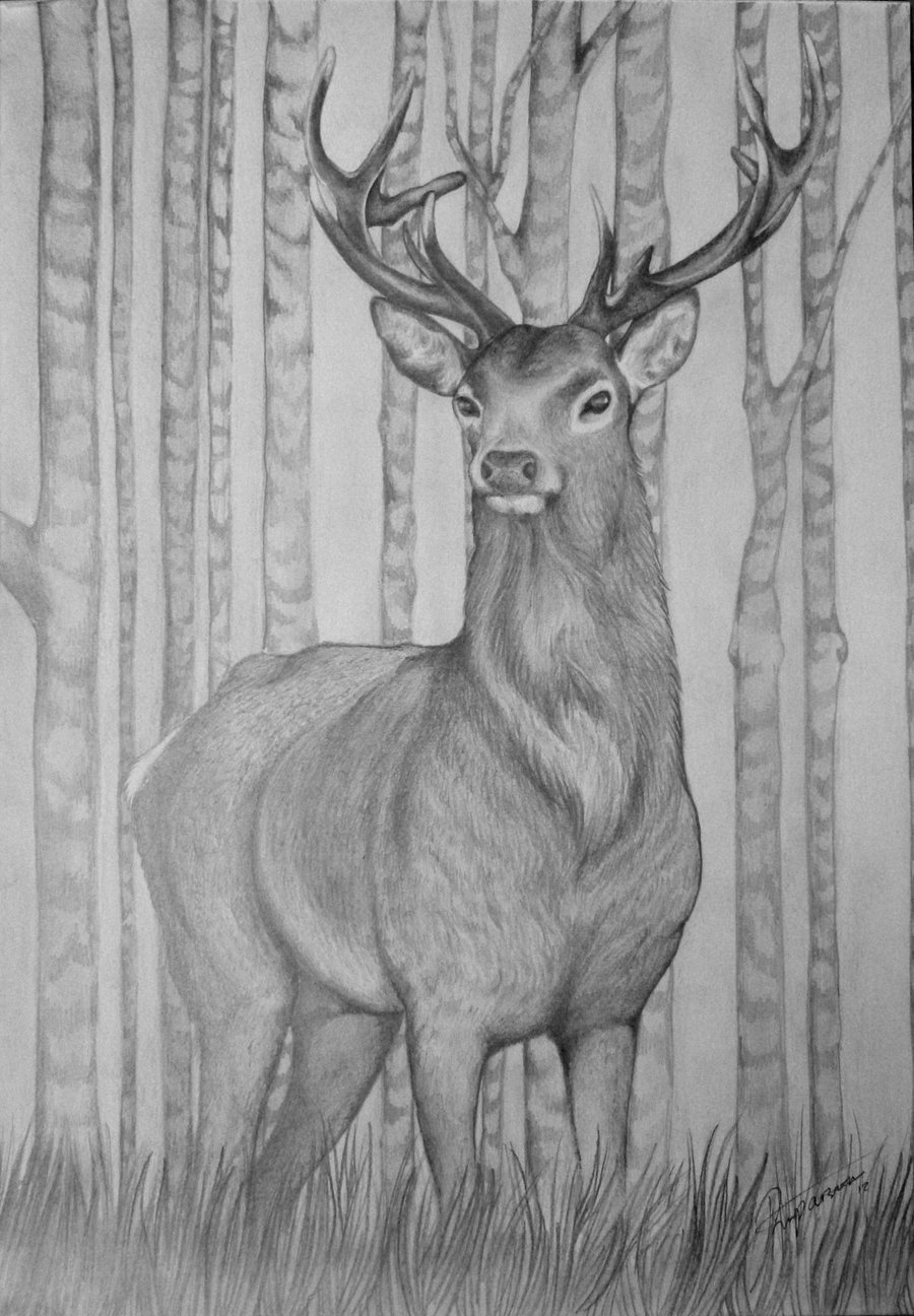 Drawn stag Drawing on Stag by bexyboo16