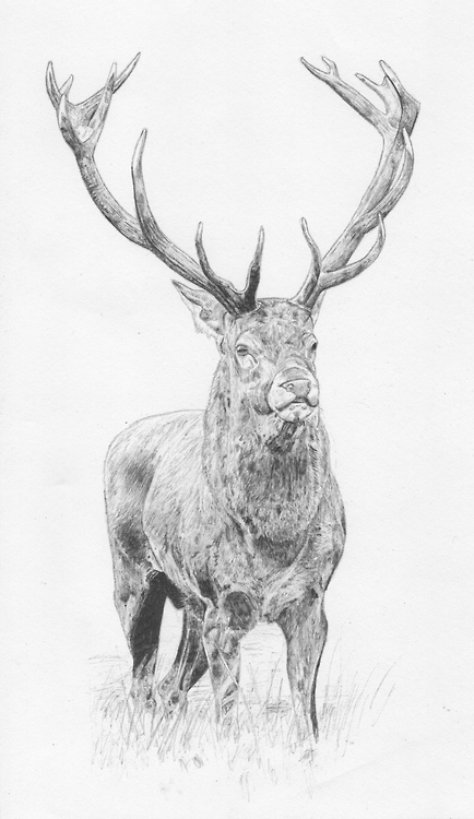 Drawn stag abstract Drawing Drawing :) biro Pinterest