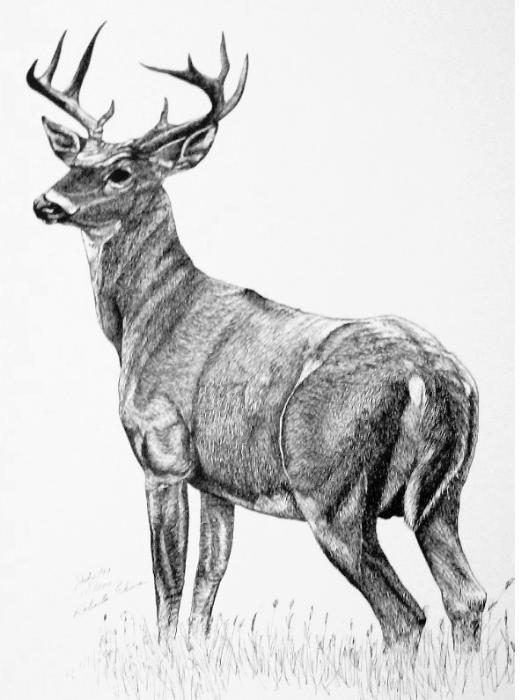 Drawn buck black and white Deer drawing drawing Deer Pinterest