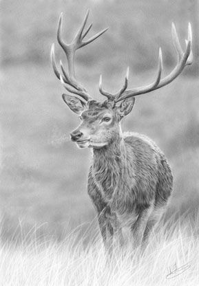 Drawn stag full body Pinterest on on Drawing 51