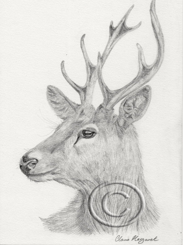 Drawn stag majestic Print Majestic  Stag of