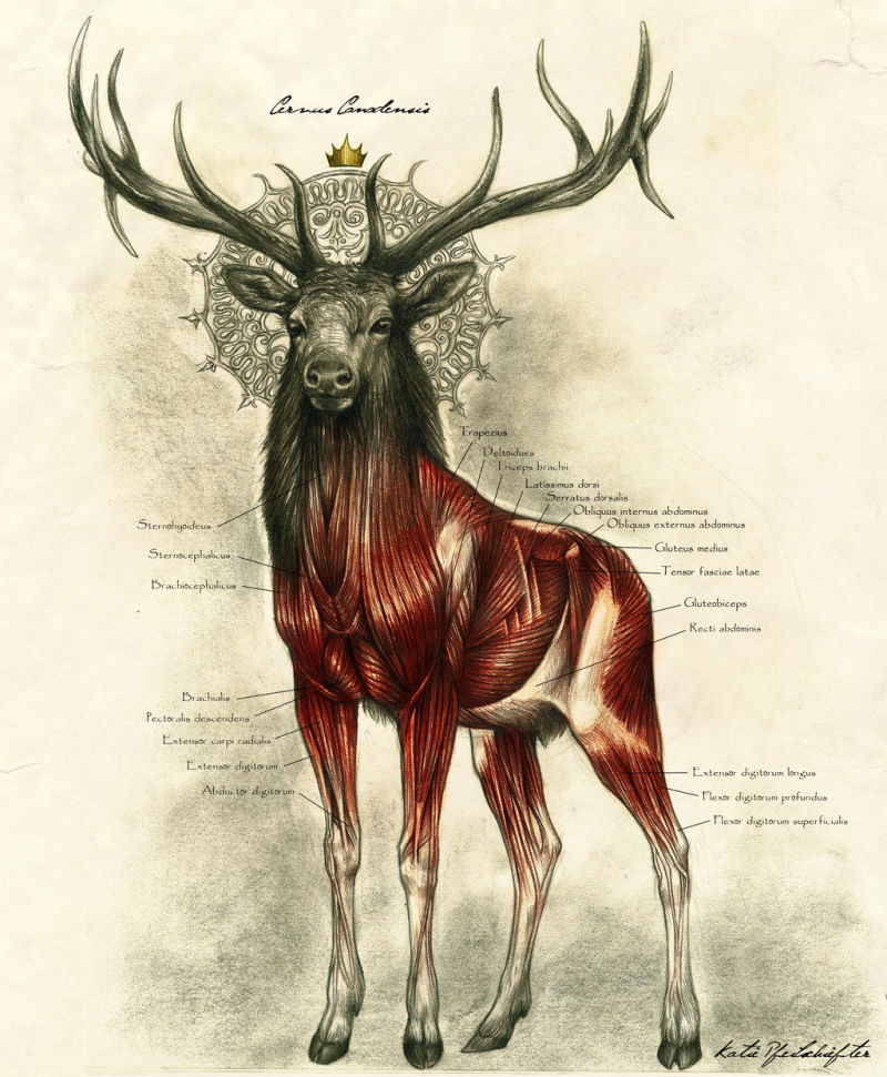 Drawn stag noble Illustrations illustrator's mystical touch Kate