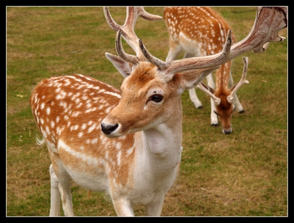 Drawn stag spotted deer Beautiful Spotted SloDive 20 Deer