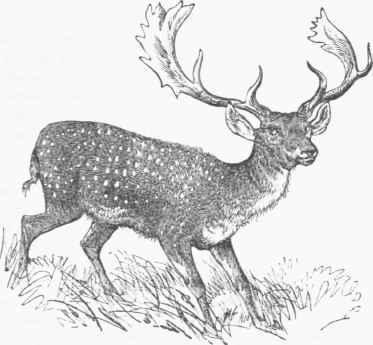 Drawn stag spotted deer Vulgaris) Fallow (Dama Deer Fallow