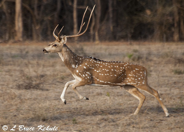 Drawn stag spotted deer Tadoba Nier in Rhino chital