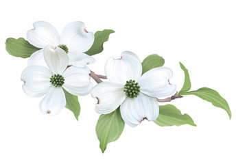 Drawn star transparent background Hand florida) of Dogwood background