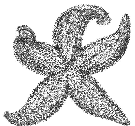Drawn starfish Starfish com Drawing starfish ReusableArt