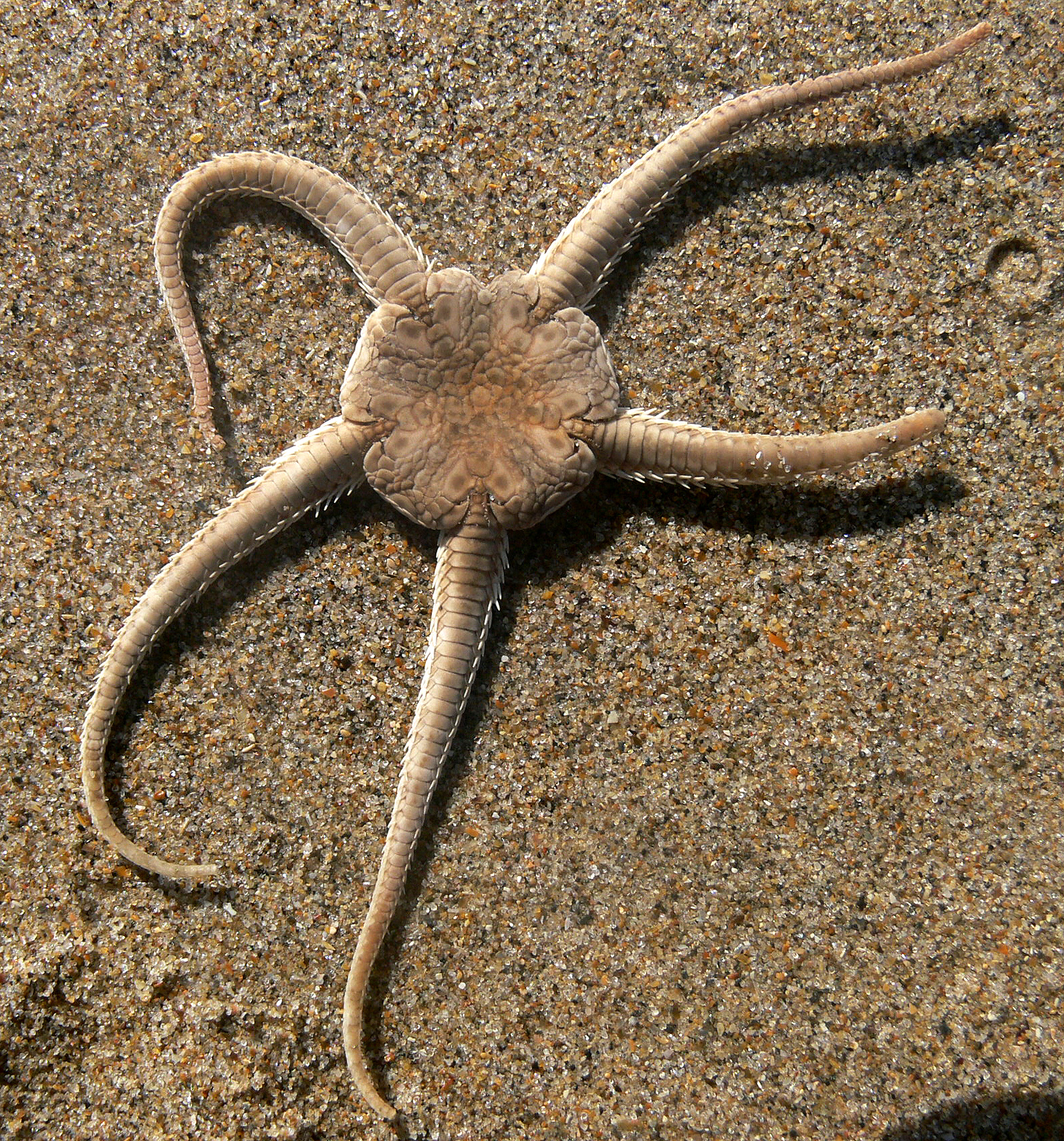 Drawn starfish saltwater fish Wikipedia star ophiura Brittle an