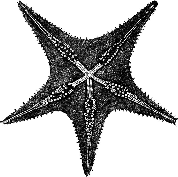 Drawn starfish sea creature This creatures sea Find Pin