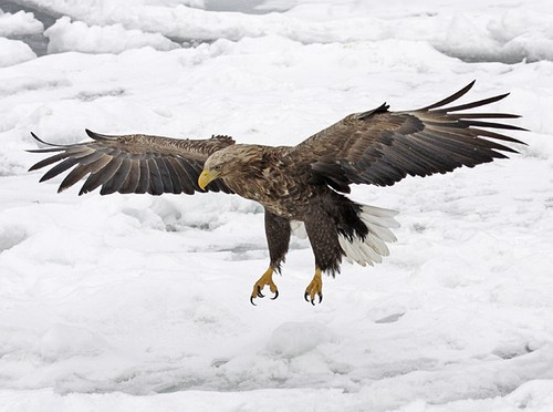 Drawn steller's sea eagle White Eagle in tailed Birding