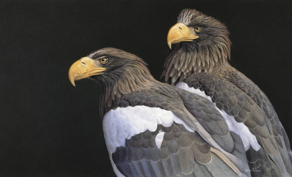 Drawn steller's sea eagle Steller x eagle Steller sea