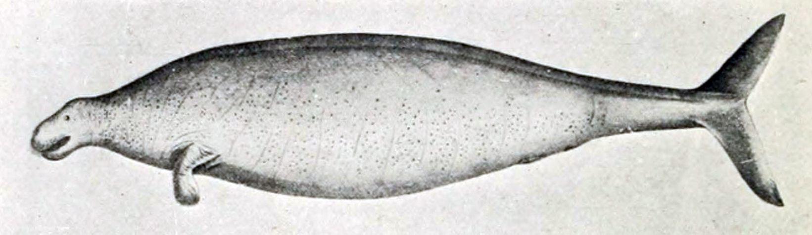 Drawn steller's sea eagle Steller (The History Steller's De