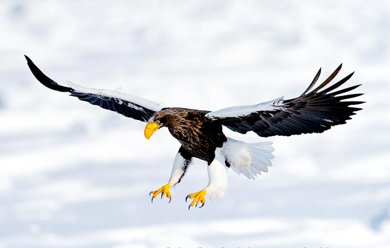 Drawn steller's sea eagle Steller eagle Eagle sea Wingspan